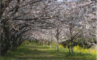 桜並木の保護・管理